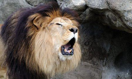 Лев - исчезающий вид